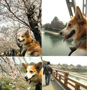 岡山後楽園の周りの桜はほぼ満開に近い状態なの。