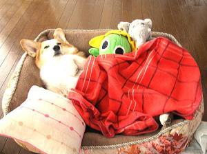 コギ友ミサイル君宅からのプレゼントのベッドで呑気ではなく、優雅に寝てますなの