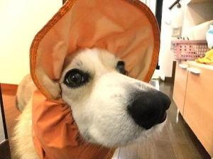 雨の日でも散歩は大好きでも、レインの帽子は嫌い