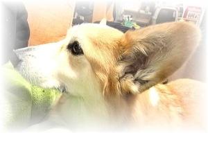 岡山犬さんへ、トリさんのお耳度アップ