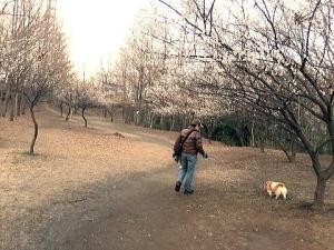 梅が咲いてきたよ~満開間近~