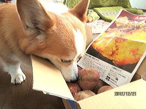 岡山犬さんから頂いた安納芋だよ~熊本県から