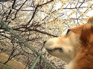 梅いっぱいで良い香り