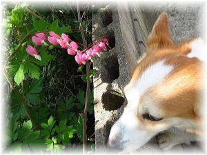 タイツリソウと言うお花~可愛いね