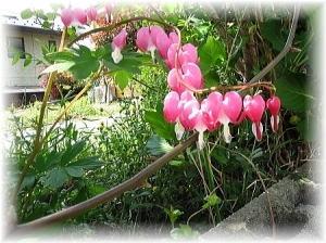 タイツリソウの花言葉~『従順』、『あなたに従う』『失恋』など