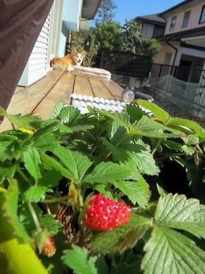 2014年11月13日 この時期にイチゴが・・・