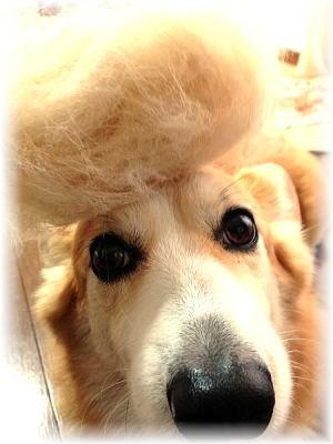 盛ってみました~地毛ですよ~アフロ犬