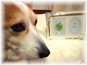 ワン友柴犬リーちゃんのママさんからのプレゼント