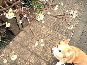 今年は三叉キレイに咲いた時見れるかな?