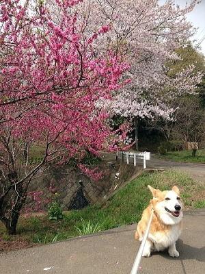 大きな道路の向かいの桜へ