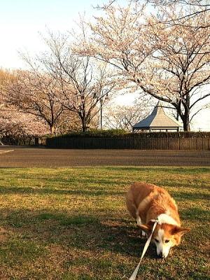 公園の桜も一気に開花~でも今週は雨で散っちゃう?