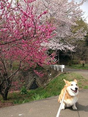 ご近所の桜~山桜かな?