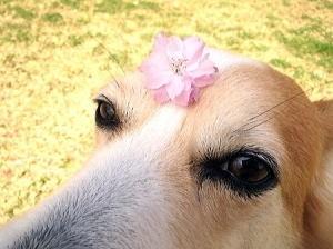 キレイな桜の花ビラ