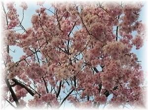 もう桜散っちゃった~