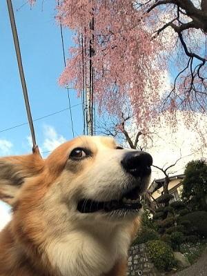 しだれ桜~2015年4月2日