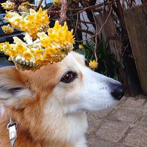 今年もキレイに咲いたミツマタ